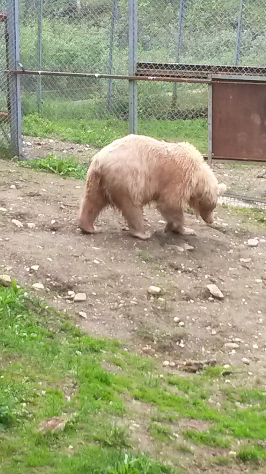 Полубелый медведь